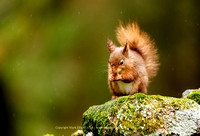 Red Squirrels