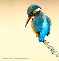 Female Kingfisher on tree branch perch