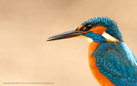 Male Kingfisher close-up