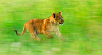Cub on the Run