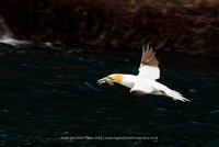 Gannet with seaweed