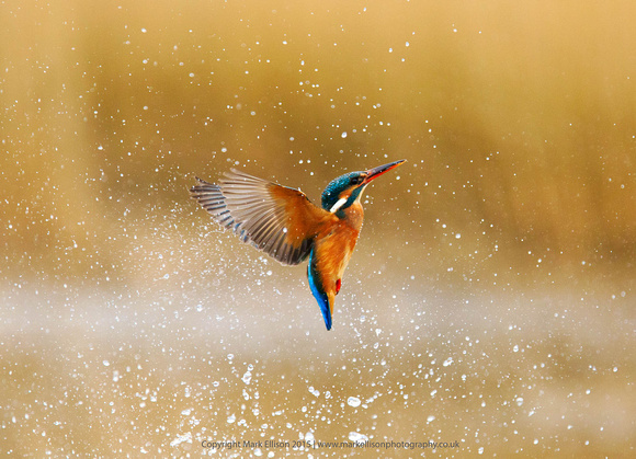 Soaring Kingfisher