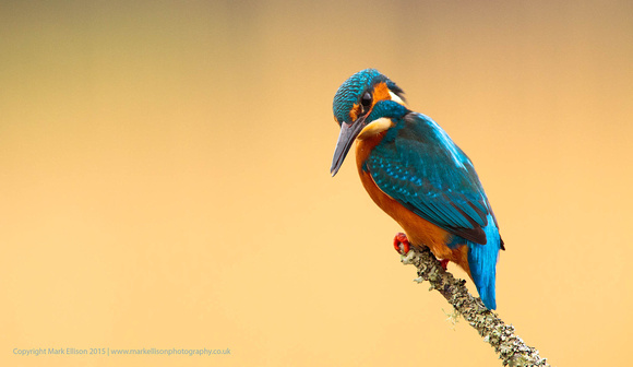 Male Kingfisher on tree branch