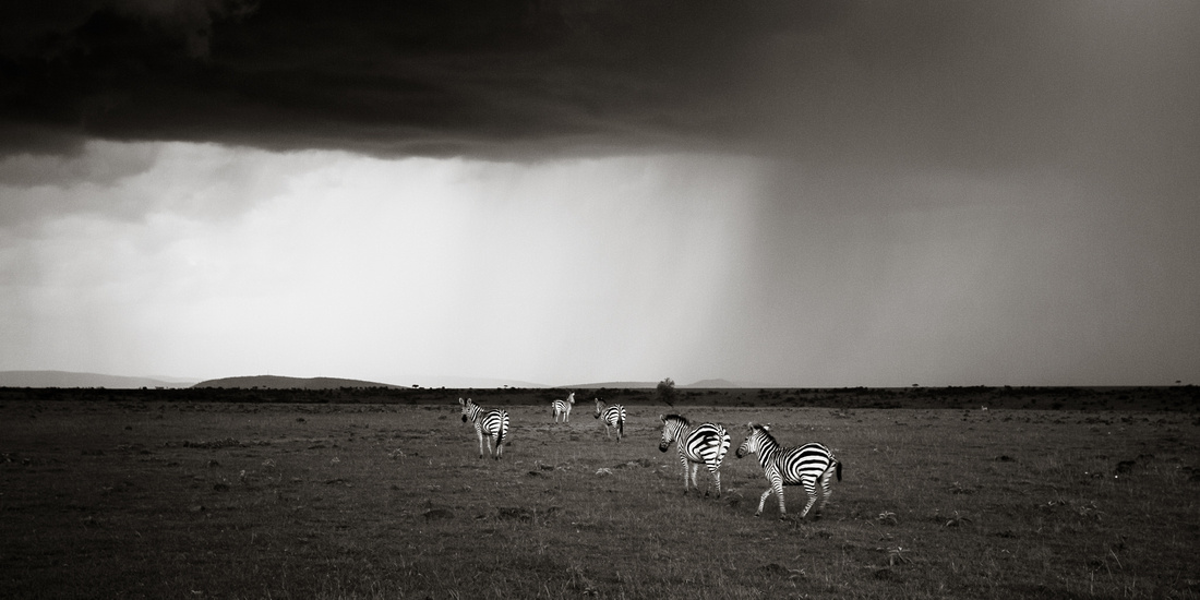 Zebras and the Storm