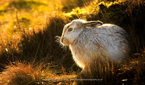 Mountain hare in winter sunlight